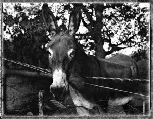 Esel beim Zaun / Mule by the Fence