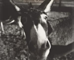 Naseweiser Esel / Nosy Mule